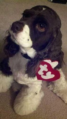 Cute dog costume Halloween Photo Contest Entry: Cha Cha The Beanie Baby Halloween Fotos, Dog Halloween Costumes, Pet Costumes, Halloween Fun, Costume Ideas, Halloween Clothes, Puppy Costume, Beanie Baby Costumes, Cockerspaniel