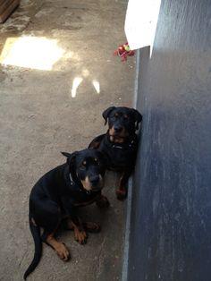 Mine dejlige hunde