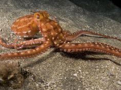Ornate or Night Octopus (Octopus Ornatus), Hawaii, USA