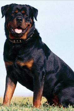 Rottweiler is an ideal guard dog. Rottweiler has the strongest bite amongst dog breeds with 328 pounds of bite pressure. A good protection dog breed. Raza Rottweiler, Rottweiler Dog Breed, Rottweiler Love, Rottweiler Pictures, German Rottweiler, Doberman, Rottweiler Facts, Rottweiler Training, Training Dogs