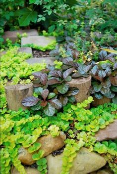 creeping jenny & ajuga, I grew up with these two plants, gardening, landscaping