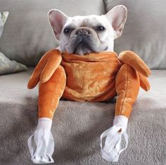 The major breeds of bulldogs are English bulldog, American bulldog, and French bulldog. The bulldog has a broad shoulder which matches with the head. Funny Animal Pictures, Funny Animals, Cute Animals, Happy Thanksgiving Friends, Thanksgiving Turkey, Bella Y Los Bulldogs, Bulldog Halloween Costumes, Bulldog Costume, Cute Puppies