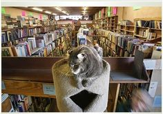 Resident Cat at Acres of Books, Long Beach, California.  Loved this bookstore!  Too bad it closed.  I think it was more than 40 years old.