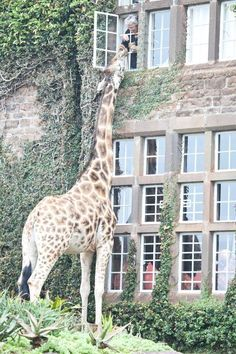 Giraffes don't always understand the meaning of the word privacy when it comes to guests. Credit: Giraffe Manor/Facebook