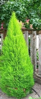 Montery Cypress 'Wilma Goldcrest' Evergreen Small tree/shrub 4-6' T 3-4' W. Full sun (Rena has by front entry)