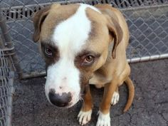 TO BE DESTROYED - 03/17/15 Manhattan Center -P My name is DUFFMAN. My Animal ID # is A1030013. I am a male brown and white eng foxhound and american staff mix. The shelter thinks I am about 3 YEARS old. *** DUFFMAN NEEDS YOUR HELP TONIGHT! RESERVE HIM ONLINE TONIGHT ***