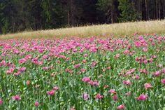 Die Mohnfelder von Armschlag #waldviertel #graumohn #www.ask-enrico.com Arm, Plants, Arms, Plant, Planets
