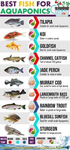 Learn about the top 10 Aquaponics Fish available today. Pick the best fish for your Aquaponics syste&; Learn about the top 10 Aquaponics Fish available today. Pick the best fish for your Aquaponics syste&; Koi Fish Gardens […] plants with fish Aquaponics System, Hydroponic Farming, Aquaponics Greenhouse, Aquaponics Plants, Indoor Hydroponics, Diy Greenhouse, Aquaponique Diy, Best Fish For Aquaponics, Fish Tank Aquaponics