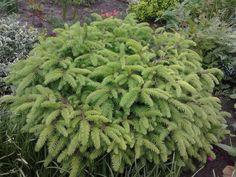 "Picea abies ""Nidiformis"""