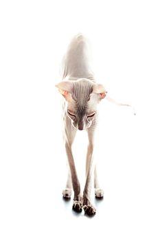 ☆ Cat art sphynx☆
