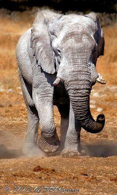 White Elephant of Etosha