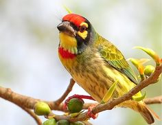 Beautiful Coppersmith Barbet Love Moments