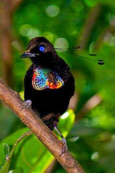 "Rare Bird-not sure, could be ""a ""Rainbow Birdie"" or maybe it's for real, some kind of Bird of Paradise, maybe? But those eyes, wow! Anyone know for sure?? Found it! Lawes's Parotia (Parotia lawesii), Family Birds-of-paradise (Paradisaeidae)."