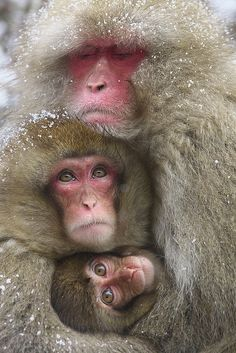 Japanese Macque family.  These poor guys always look cold to me, but this type of climate is their natural home;  no primate, with the exception of humans, is more northern-living, nor lives in a colder climate.  by Masashi Mochida