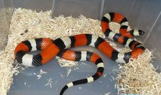 How to Care for a Milk Snake. Milk snakes are docile and make great pets, especially for first-time snake owners. While they're lower maintenance than other pets, they still require proper care. Python Royal, Cute Reptiles, Reptiles And Amphibians, Serpent Animal, Snake Terrarium, Reptile Show, Milk Snake, Pet Health, Health Tips