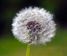 Dandelion-in-seadheds  framcaphotography.com
