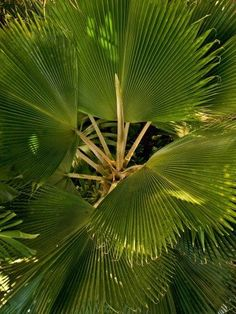 Fan Palm Care Indoors - Tips For Growing Fan Palm Palms