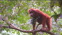 Sumatra Orang Utan ♥ The animals I love the most