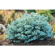 Dwarf Globe Blue Spruce Picea pungens 'Globosa' - Super hardy in Zone Pretty much no maintenance once established. Great contrast colour for the garden. Garden Shrubs, Landscaping Plants, Front Yard Landscaping, Landscaping Ideas, Luxury Landscaping, Landscaping Software, Landscaping Company, Backyard Ideas, Southern Landscaping