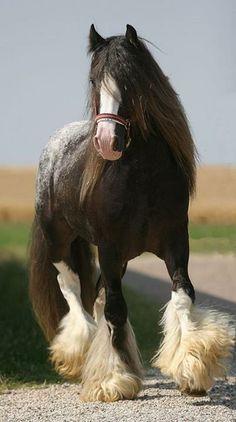 Gypsy Horse or Gypsy Vanner All The Pretty Horses, Beautiful Horses, Animals Beautiful, Beautiful Beautiful, Shire Horse, Horse Stables, Paint Horse, Horse Art, Friesian