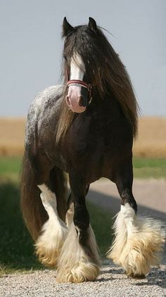 Gypsy Horse or Gypsy Vanner All The Pretty Horses, Beautiful Horses, Animals Beautiful, Cute Animals, Beautiful Beautiful, Shire Horse, Horse Stables, Paint Horse, Horse Art