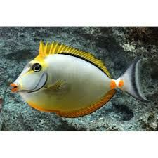 Image result for Blonde Naso Tang