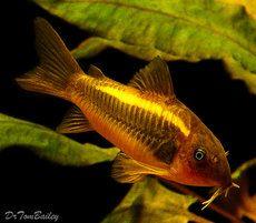 Aquarium Fish, Tropical fish, and Goldfish for Sale Online Tropical Freshwater Fish, Tropical Fish Aquarium, Freshwater Aquarium Fish, Catfish For Sale, Small Catfish, Rare Fish, Exotic Fish, Goldfish For Sale, Cory Catfish