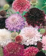 "Scabiosa Finest Mix (Scabiosa) - 1300 | Stokes Seeds. 36"" annual. Difficulty: Easy"