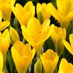 Goldkrokus, herbstblühend - Herbstzeitlose & Herbst-Krokusse