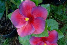 purple hibiscus - Google Search