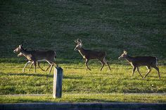 """""""White Tailed Buck And Three Does"""" by fellow artist/photographer Chris Flees."""
