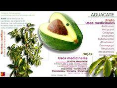 Propiedades del aguacate. Características principales de la planta de aguacate. Nombre científico, contenido y principios activos. Usos medicinales del aguacate.