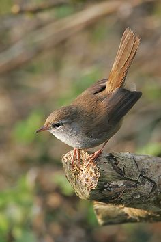 "Cetti's warbler, Cettia cetti, is an Old World warbler. Cettiidae is a newly validated family of small insectivorous songbirds (""warblers""). As a common name, cettiid warblers is usually used. Part of Superfamily Sylvioidea."