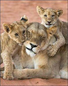 Beautiful Lion, Beautiful Horses, Animals Beautiful, Baby Animals, Cute Animals, Gato Grande, Lion Love, Carnivore, Lion Cub