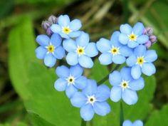 Kuvahaun tulos haulle lemmikki kukka