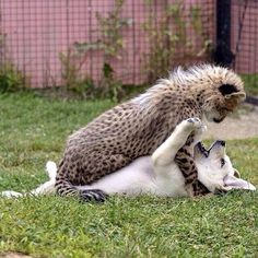 """Puppy-Dog: """"You are not going to 'Cheet'-ah on me, are you?"""""""