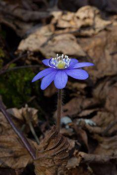 https://flic.kr/p/GduDec | Hepatica nobilis | Hepatica nobilis (en. Common Hepatica, de. Leberblümchen, fi. Sinivuokko, sv. Blåsippa, no. Blåveis). Erkylä, Hausjärvi, Finland. 13.4.2016.