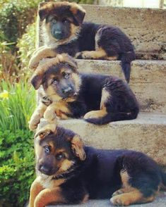 One two three  hey see what . We knew we are cute but don't stare at us like that    Folow #gsdofmax to see more pic of our beloved gsd #germanshepherd #germanshepherdpuppy #germanshepherddog #germanshepherdlovers #gsdofmax #gsdpuppies #gsdofinstagram #gsdforlife #gsdinstagram #cutepuppies