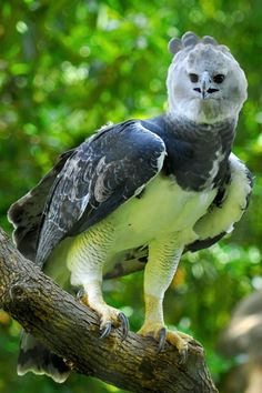 The Harpy Eagle (Harpia harpyja) - It is the largest and most powerful eagle in the world. Early South American explorers named these great birds after Harpyja, the predatory half-woman, half-bird monster of Greek mythology. Nature Animals, Animals And Pets, Funny Animals, Cute Animals, Pretty Birds, Beautiful Birds, Animals Beautiful, Harpy Eagle, Bald Eagle