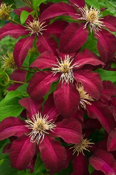 "Clematis  ❁❁❁Thanks, Pinterest Pinners, for stopping by, viewing, pinning, & following my boards. Have a beautiful day! And""Feel free to share on Pinterest""✮✮""  #goodfood #organicgardenandhomes"
