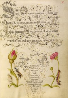 'Wainscot, French Rose, Wasplike Insect, English Daisy, and Caterpillar' ( 1561 - 1562; illumination added 1591 - 1596). Watercolour, gold and silver paint, and ink on parchment...