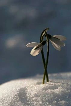 Vintergæk i sneen