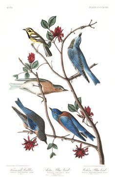 Townsend's Warbler, Arctic Blue-bird, Western Blue-bird | Audubon