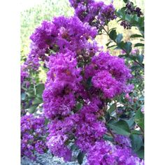 Twilight Crape Myrtle, Deep Purple Blooms, Potted Plant, Landscaping, Shrub Plant, Attracts Bees and Birds, Versatile, Eye Catching by growerssolution on Etsy https://www.etsy.com/listing/455409398/twilight-crape-myrtle-deep-purple-blooms