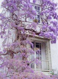 Цвета, цветы, фиолетовый, ползущие, на фасаде