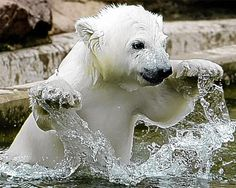 adorable polar bear cub