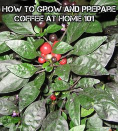 How To Grow And Prepare Coffee At Home 101
