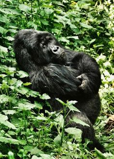 OK, so Mawazo this18-year old silverback from the Munyaga gorilla family lives in Virunga National Park, Democratic Republic of Congo. However, if you want an easier hike to see Gorillas, you may want to head for Parc National des Volcans, Rwanda