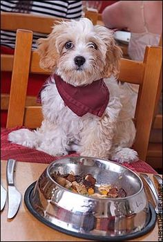 Cavachon hybrid dogs Cavachons are the first cross between the Wonderful Cavalier King Charles Spaniel and the Bubbly Luxurious Bichon Frise I Love Dogs, Puppy Love, Cute Dogs, Cavachon, Bichons, Animal Decor, Bichon Frise, King Charles Spaniel, Four Legged