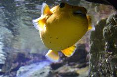 Yellow puffer fish in Istanbul
